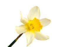 Цветок желтого изолированного narcissus Daffodil Стоковая Фотография