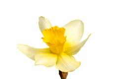 Цветок желтого изолированного narcissus Daffodil Стоковое Изображение RF