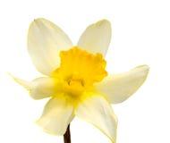 Цветок желтого изолированного narcissus Daffodil Стоковые Фото