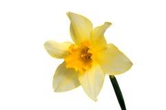 Цветок желтого изолированного narcissus Daffodil Стоковое Изображение