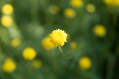 Цветок желтого крупного плана крошечный в поле Стоковая Фотография