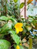 Цветок желтого цвета завода удачи дерева денег Стоковые Фото