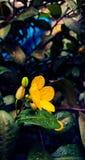 Цветок желтого цвета завода удачи дерева денег Стоковое фото RF