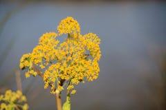Цветок желтого цвета Thapsia Garganica (смертельных морковей) Стоковые Фото
