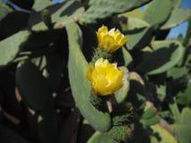 Цветок желтого Opuntia фикус-indica стоковые изображения rf