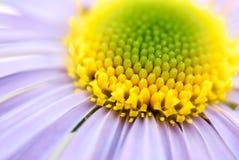 Цветок желтых и сирени Стоковые Изображения RF