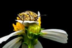 цветок жука Стоковая Фотография