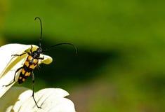цветок жука Стоковые Фотографии RF