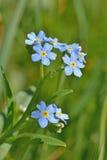 цветок забывает меня не Стоковое Изображение RF