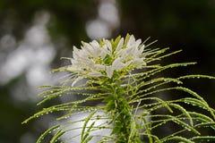 Цветок завода паука крупного плана влажный белый на холме Fraser's, Malays Стоковые Изображения