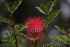 Цветок завораживающей щетки форменный красный стоковая фотография