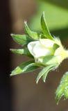 Цветок завода клубники одиночный Стоковые Изображения RF