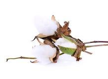 Цветок завода хлопка на белой предпосылке Стоковое Изображение