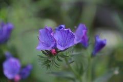 Цветок заклятья Paterson Стоковая Фотография RF