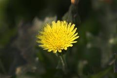 Цветок засорителя желтого цвета Стоковое Изображение RF