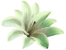 Цветок зеленого цвета лилии акварели изолированный с путем клиппирования на белой предпосылке Для конструкции closeup иллюстрация вектора
