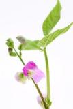 Цветок зеленой фасоли стоковые изображения