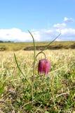 Цветок змейки головной (meleagris Fritillaria) Стоковая Фотография RF