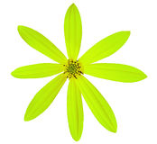 Цветок известки сада, белизна изолировал предпосылку с путем клиппирования Стоковые Изображения