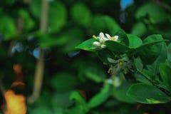 Цветок известки Kaffir стоковое фото rf
