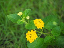 Цветок изгороди Стоковые Фото