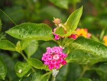 Цветок изгороди Стоковые Изображения