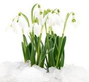 цветок изолировал белизну snowdrop стоковое фото rf