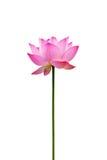 цветок изолировал лотос Стоковые Фото