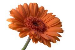 цветок изолировал Стоковое Изображение