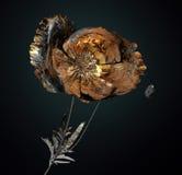 Цветок изолированный на белизне, мак иллюстрация штока