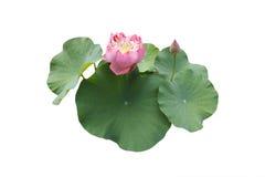 цветок изолировал лотос Стоковое Изображение