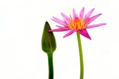 цветок изолировал лотос Стоковые Изображения