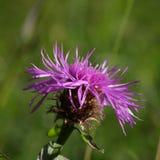 Цветок или василёк Knapweed в лете Стоковая Фотография