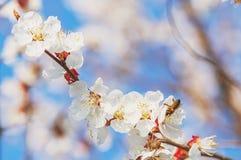 Цветок или вишневый цвет Сакуры с пчелой меда Стоковая Фотография