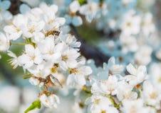 Цветок или вишневый цвет Сакуры Стоковые Изображения