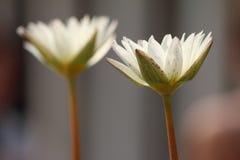цветок имеет акварели изображения лотоса себя I покрашенные белые Стоковое Изображение RF