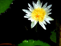 цветок имеет акварели изображения лотоса себя I покрашенные белые Стоковые Изображения RF