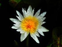 цветок имеет акварели изображения лотоса себя I покрашенные белые Стоковая Фотография RF