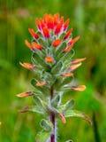 Цветок индийского paintbrush шарлаха - вертикаль стоковое изображение rf
