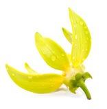 Цветок иланг-иланга Стоковые Изображения RF