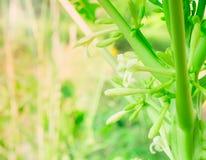 Цветок и бутоны папапайи в саде стоковое фото rf