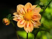 Цветок и бутон георгина Collaretta (e z Duzzit) Стоковые Изображения RF