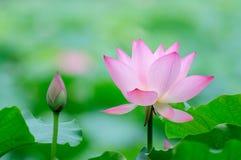 Цветок и бутон лотоса Стоковое Изображение RF