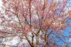 Цветок и дерево вишневого цвета Стоковое Фото