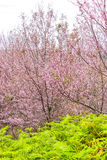 Цветок и дерево вишневого цвета Стоковое Изображение
