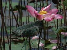 Цветок и заводы лотоса Стоковое фото RF