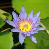Цветок лилии воды в озере Цветок в свете утра Стоковое фото RF