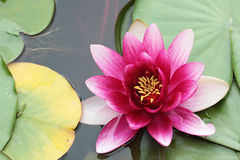 Цветок лилии воды пинка ClosUp одиночный стоковое изображение rf