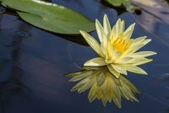 Цветок лилии воды Стоковые Фотографии RF