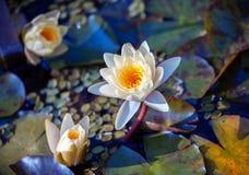Цветок лилии воды стоковое фото rf